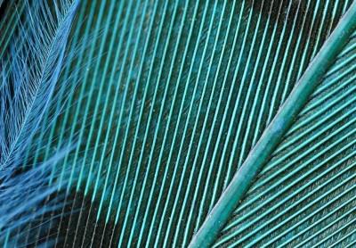 Teal - čírková modř